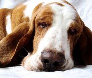 Basset Dreaming